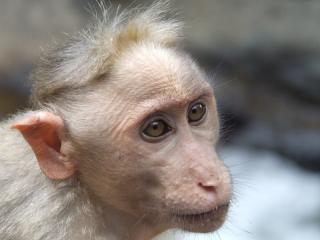 Balding_monkey